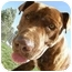 Photo 4 - American Pit Bull Terrier Dog for adoption in Meridian, Idaho - Bruno
