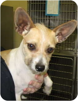 Jack Russell Terrier/Chihuahua Mix Dog for adoption in Stillwater, Oklahoma - Butters