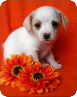 Havanese/Terrier (Unknown Type, Small) Mix Puppy for adoption in Irvine, California - CJ