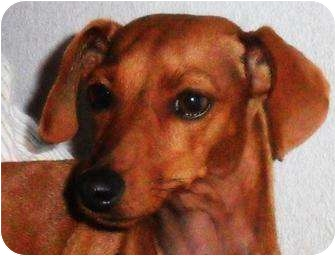 Dachshund/Terrier (Unknown Type, Medium) Mix Dog for adoption in Vale, Oregon - Zoey