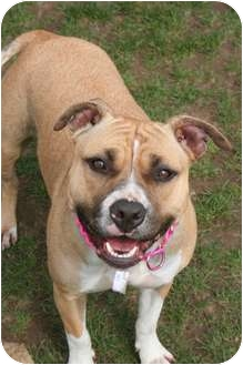 American Staffordshire Terrier Mix Dog for adoption in Islip, New York - Daisy