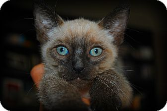 Siamese Kitten for adoption in Yuba City, California - Luke the Kitten