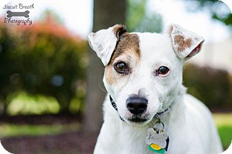 Jack Russell Terrier Mix Dog for adoption in Howell, Michigan - Cooper