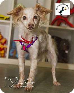 Chihuahua/Papillon Mix Dog for adoption in San Diego, California - Feather