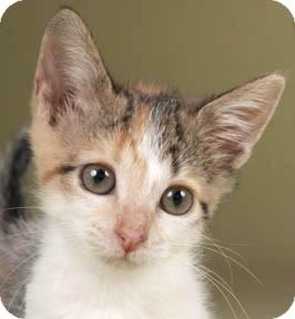 Calico Kitten for adoption in Chicago, Illinois - Peaches