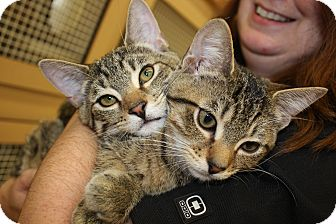 Domestic Shorthair Kitten for adoption in Vero Beach, Florida - Paco and Taco