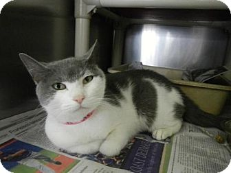 Domestic Shorthair Cat for adoption in East Hanover, New Jersey - Peggy