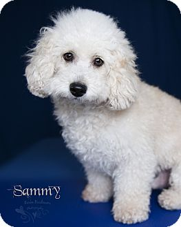 Poodle (Miniature)/Bichon Frise Mix Dog for adoption in Rancho Mirage, California - Sammy