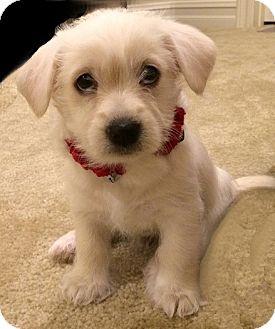 Westie, West Highland White Terrier/Maltese Mix Puppy for adoption in La Habra Heights, California - Quin