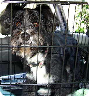 Shih Tzu Mix Dog for adoption in ST LOUIS, Missouri - Gussie
