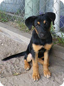 German Shepherd Dog Mix Puppy for adoption in Okeechobee, Florida - Sheba