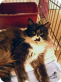 Domestic Longhair Cat for adoption in San Marcos, Texas - Tickles