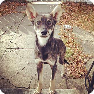 Shepherd (Unknown Type)/Whippet Mix Dog for adoption in Saskatoon, Saskatchewan - Brady