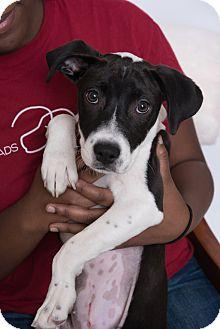 Hound (Unknown Type) Mix Puppy for adoption in Nashville, Tennessee - Tulip