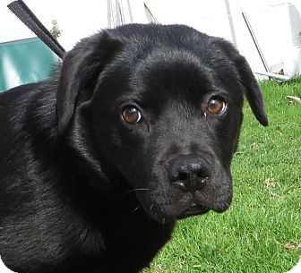 Labrador Retriever Mix Puppy for adoption in Middletown, New York - India