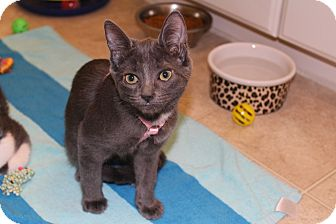 Domestic Shorthair Kitten for adoption in Hamilton., Ontario - trisha