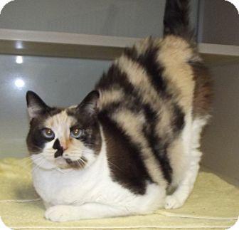 Domestic Shorthair Cat for adoption in Cheboygan, Michigan - Kashi