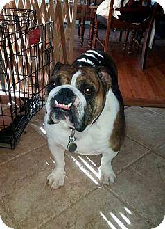 English Bulldog Dog for adoption in Smithtown, New York - Zoe