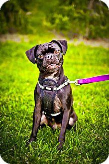 Pug Mix Dog for adoption in Rockville, Maryland - Jake