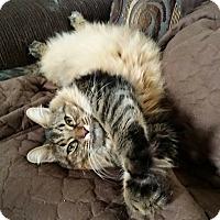 Adopt A Pet :: Kimber lap kitty - Sterling Hgts, MI