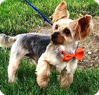 Yorkie, Yorkshire Terrier Dog for adoption in Oswego, Illinois - Hudson