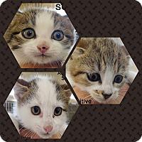 Adopt A Pet :: KITENS- 1 LEFT - Ocala, FL