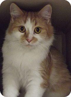 Domestic Mediumhair Cat for adoption in Cheboygan, Michigan - PAIGE