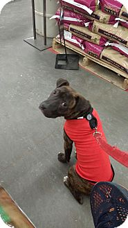 Staffordshire Bull Terrier Mix Puppy for adoption in Patterson, New York - Jocko