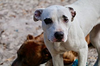 Dalmatian/Terrier (Unknown Type, Medium) Mix Dog for adoption in Saint Augustine, Florida - Tucker