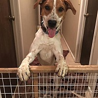 Adopt A Pet :: Scout (courtesy listing) - Baton Rouge, LA