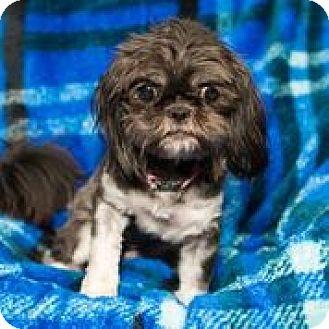 Shih Tzu Mix Dog for adoption in Houston, Texas - A - MINNIE