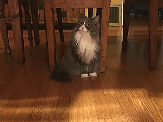 Domestic Mediumhair Cat for adoption in Portland, Oregon - Blue ice