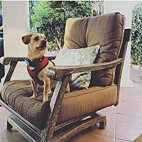 Adopt A Pet :: Huey - Rancho Cucamonga, CA
