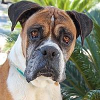 Boxer Mix Dog for adoption in Las Vegas, Nevada - Emmett