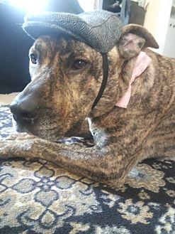 American Staffordshire Terrier/Labrador Retriever Mix Dog for adoption in Oceanside, California - leo