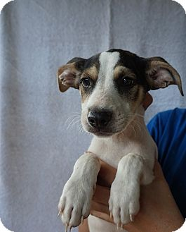 Australian Cattle Dog/Labrador Retriever Mix Puppy for adoption in Oviedo, Florida - Skeeter