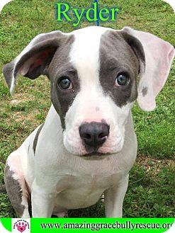 American Bulldog Mix Dog for adoption in Pensacola, Florida - Ryder