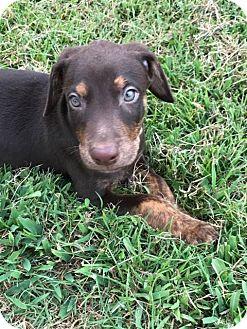 Anatolian Shepherd Mix Puppy for adoption in Broken Arrow, Oklahoma - Leroy