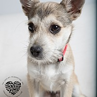 Adopt A Pet :: Spock - Inglewood, CA