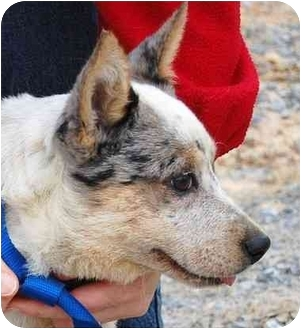 Blue Heeler Mix Puppy for adoption in Inman, South Carolina - Montana aka Avery