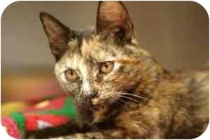 Domestic Shorthair Kitten for adoption in Vineland, New Jersey - Little Dabbles