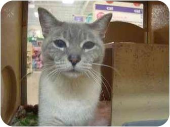 Siamese Cat for adoption in Sunderland, Ontario - Pebbles
