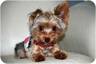 Yorkie, Yorkshire Terrier Dog for adoption in Commerce TWP, Michigan - Gucci