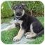 Photo 3 - German Shepherd Dog Mix Puppy for adoption in Los Angeles, California - Graham von Wiesbaden