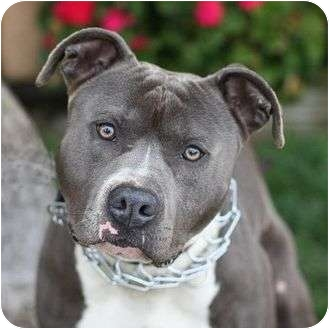 American Pit Bull Terrier Mix Dog for adoption in Berkeley, California - Chewy
