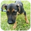 Photo 3 - Shepherd (Unknown Type) Mix Puppy for adoption in Detroit, Michigan - Vida-adopted!