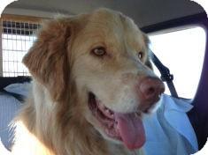 Golden Retriever Mix Dog for adoption in Denver, Colorado - Simba