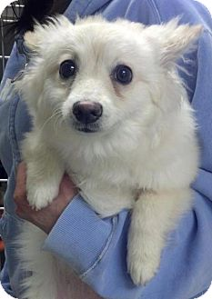 Pomeranian Mix Dog for adoption in Chicago, Illinois - DAPHNE