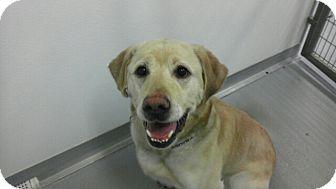 Golden Retriever Mix Dog for adoption in Sandusky, Ohio - SPRINT