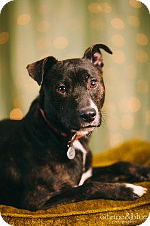 Australian Cattle Dog/Pit Bull Terrier Mix Dog for adoption in Portland, Oregon - Duke